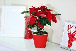 Vianočná ruža