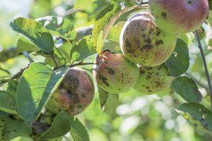 Chrastavitosť jabĺk