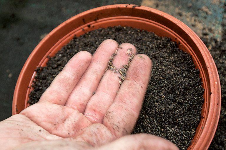 Výsev semienok skalničiek