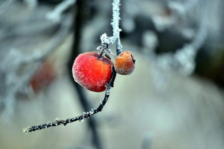 Zabudnuté plody na jabloni, zima
