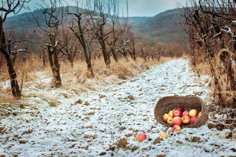Ovocný sad v zime, jablká vysypané z koša