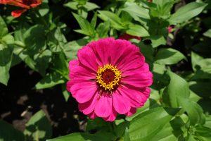 Ružová cínia
