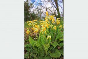 Prvosienka Primula veris