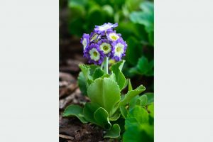 Prvosienka Primula auricula