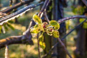Zamrznutý kvet jablone