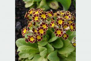 Prvosienka Primula elatior