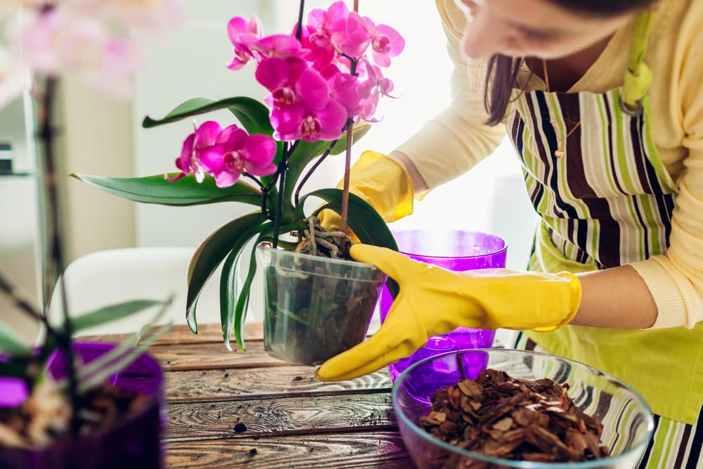 Ružová orchidea v kvetináči, presádzanie