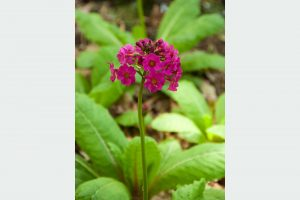 Prvosienka Primula japonica