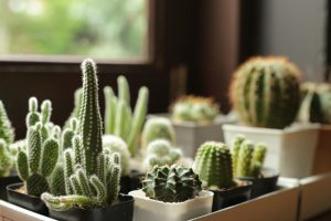Kaktusy na parapete okna