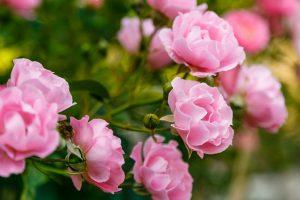 Kvitnúce ružové ruže