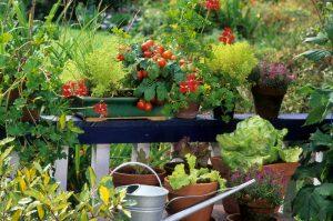 Úroda zeleniny v kvetináčoch