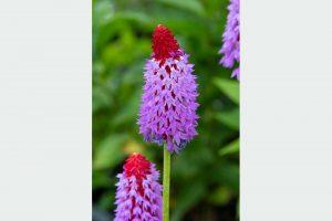 Prvosienka Primula vialii