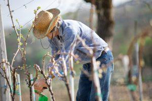 Farmár viaže vinič