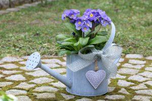 Modré prvosienky v kvetináči