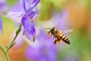 Včela prilietajúca na kvet