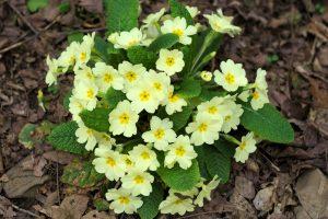 Prvosienka Primula acaulis (syn. P. vulgaris)