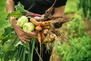 Úroda zo záhrady v rukách farmárky, mrkva, cvikla, cibuľa, paprika
