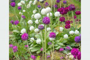 Prvosienka Primula denticulata
