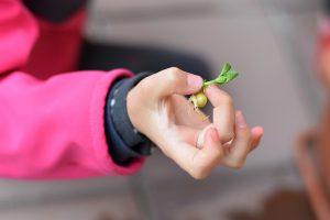 Vyklíčený hrášok v detskej ruke
