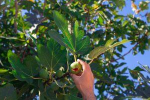Ruka trhajúca figu zo stromu