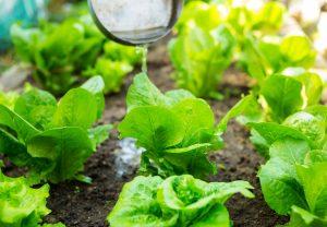 Polievanie záhrady, šalát, hnojivo