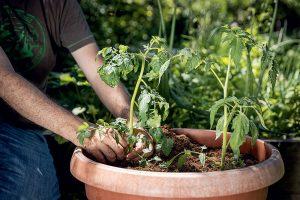 Výsadba paradajok do kvetináča