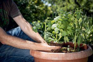 Výsadba bazalky k rajčinám