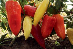 Paprika, odroda Monanta