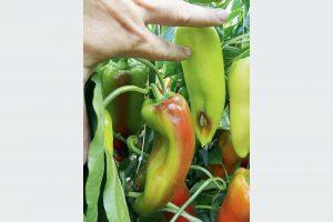 Hniloba plodov papriky