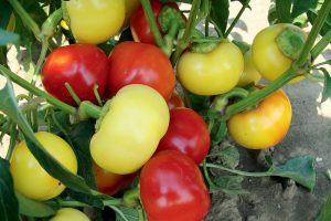 Paprika, odroda Ontara