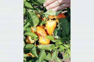 Úpal papriky