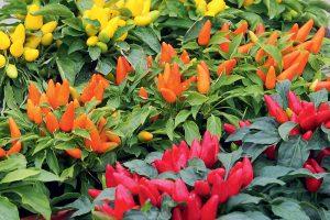 Farebné papriky v kvetináči
