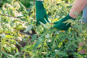 Uväzovanie paradajok