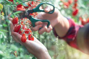 Zber strapcových rajčín