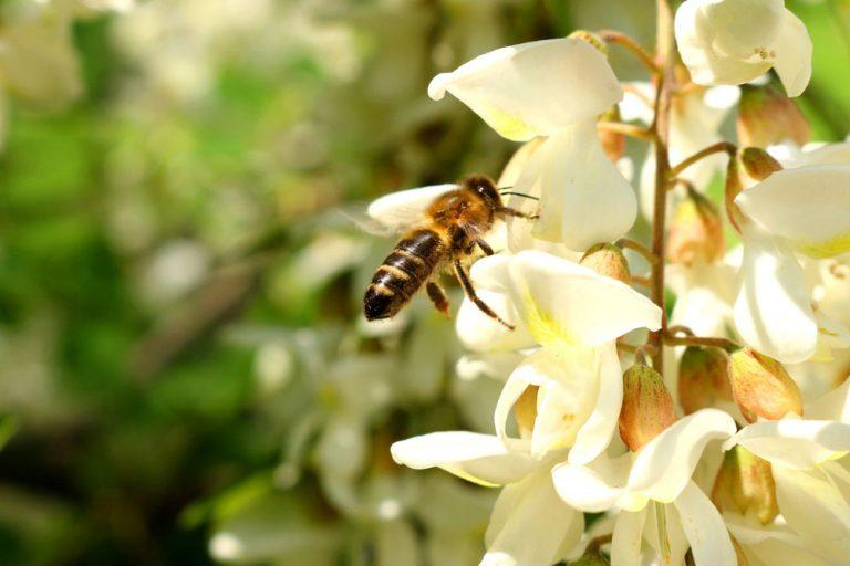 Agátový kvet, včela
