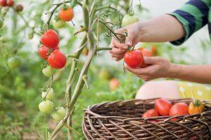 Zber rajčín