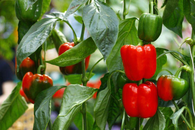 Červené papriky v záhrade