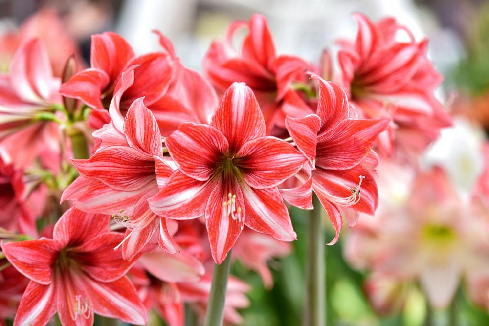 Môže zornica kvitnúť viac ako jedenkrát za rok?