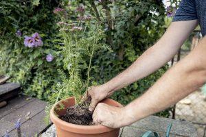 Výsadba rebríčka do kvetináča