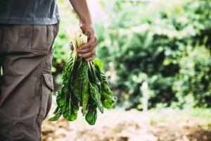 Záhradkár s mangoldom v ruke