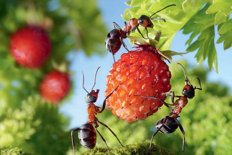 Mravce na lesnej jahode