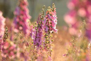8 najkrajších rastlín, ktoré kvitnú v júli