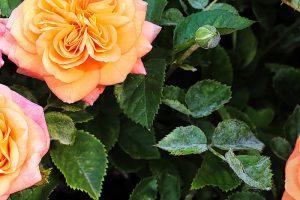 Múčnatka na ružiach