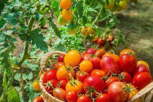 Červené a žlté paradajky v košíku v záhrade