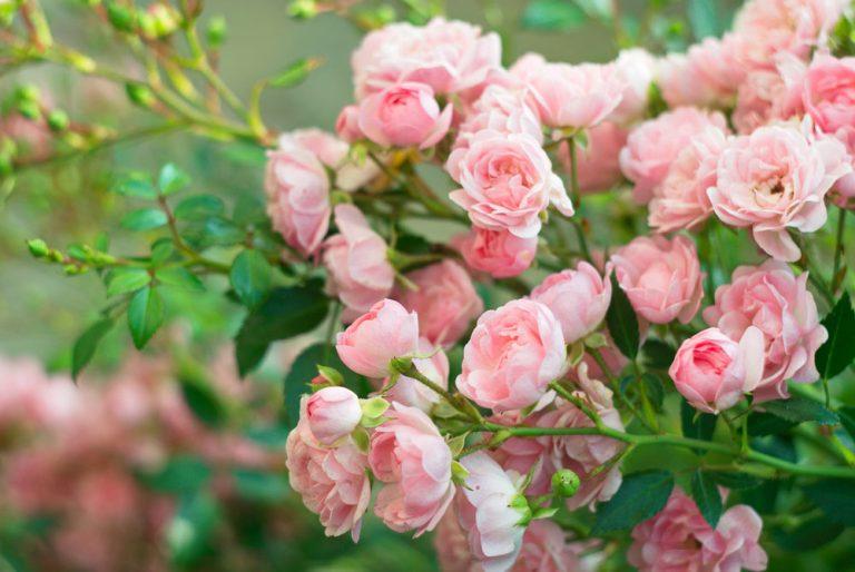 Ako udržať ruže zdravé? 7 najčastejších problémov pri ich pestovaní