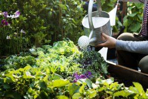 Polievanie permakultúrneho záhonu v záhrade