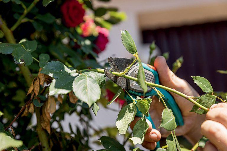 Rozmnožovanie ruží