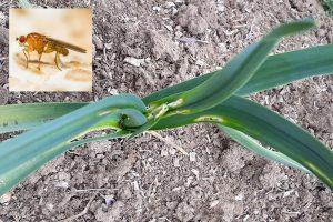 Cesnak napadnutý fúzavkou cesnakovou