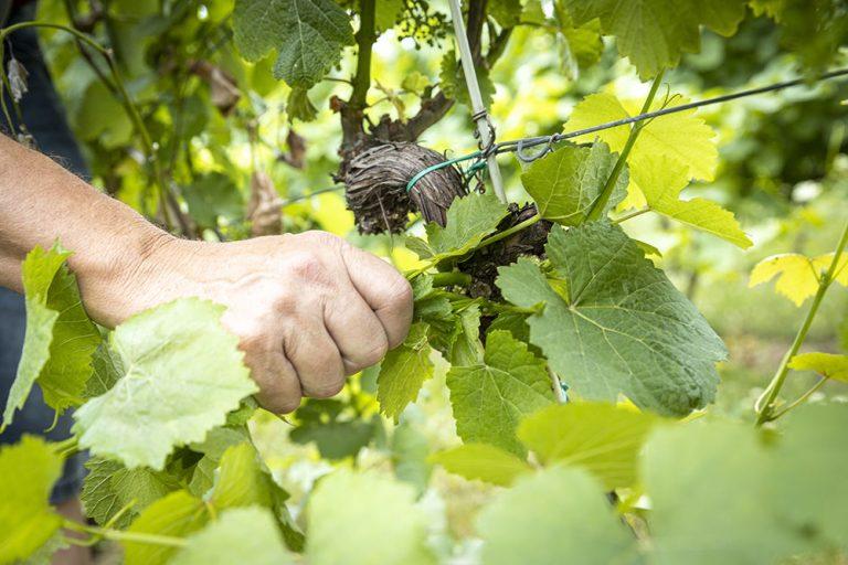 Odstraňovanie letorastov z viniča