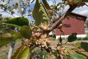 Čudné kvety (nektáriá) na čerešni
